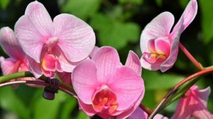 Asa se ingrijeste orhideea corect...